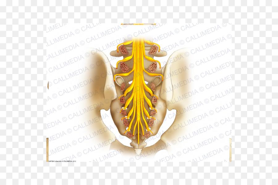 Sacrum Sacral Nerves Coccyx Sacral Plexus Sacrum Png Download