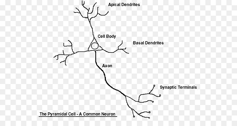 Nervous system Neuron Synapse Cell Worksheet - others png download ...