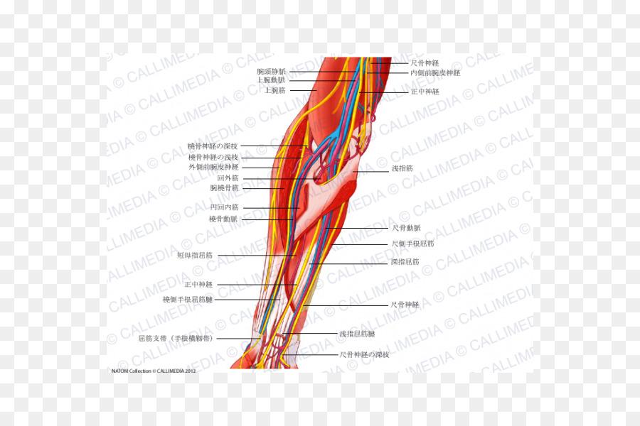 Forearm Ulnar nerve Median nerve Human anatomy - hand png download ...