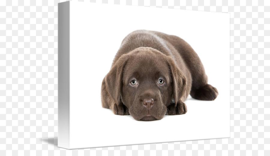 Labrador Retriever Flat Coated Retriever Puppy Golden Retriever Dog