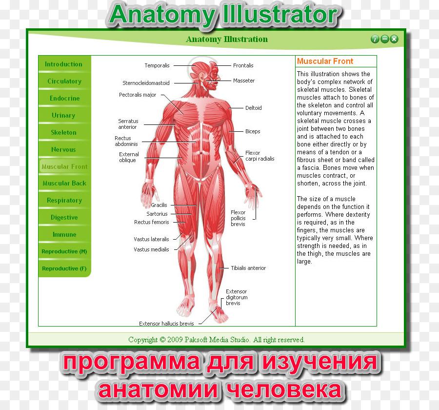 Músculo Homo sapiens cuerpo Humano Anatomía del sistema Muscular ...