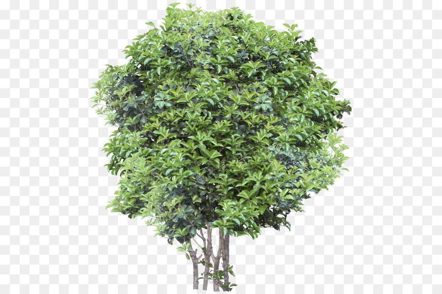 Small Trees Garden Oak   Tree
