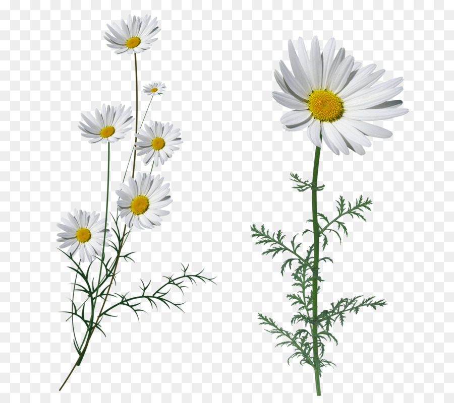 Oxeye Daisy Fleur Blanche White Flower Petal Flower Png Download
