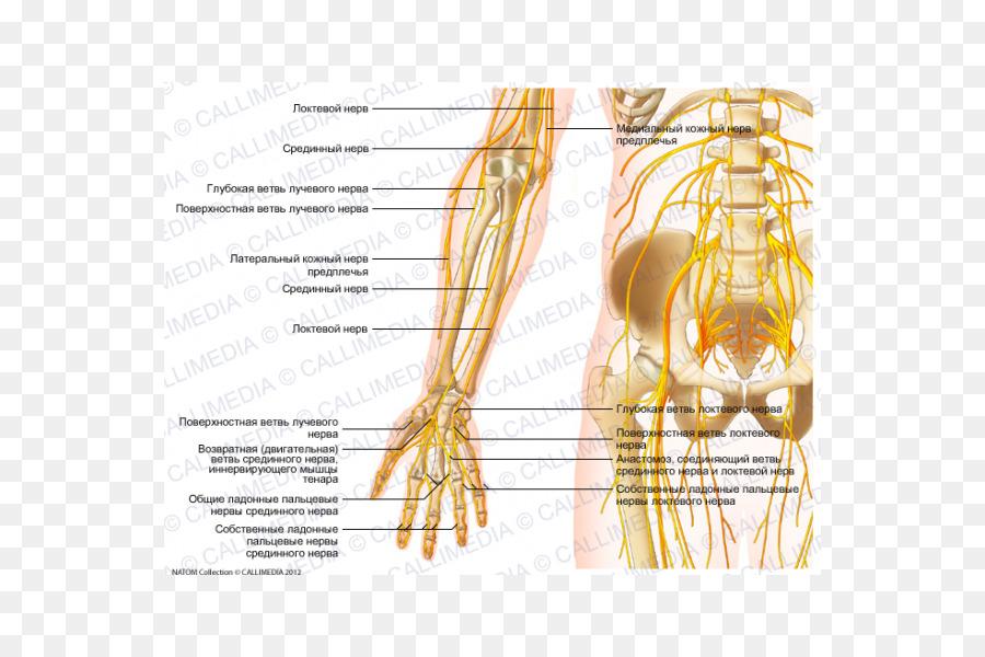 Nervio Antebrazo Anatomía Del Codo - brazo png dibujo - Transparente ...