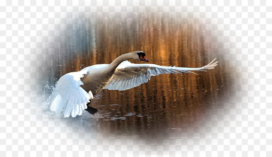 Mute Swan Desktop Wallpaper Beak Black