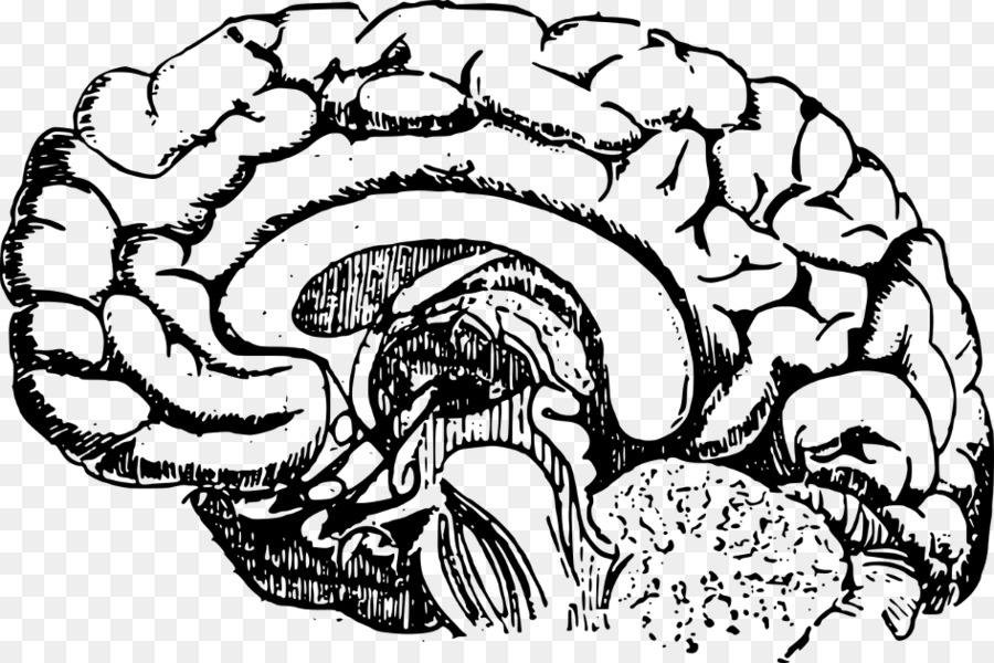 Human Brain Lobes Of The Brain Anatomy Clip Art Brain Png Download