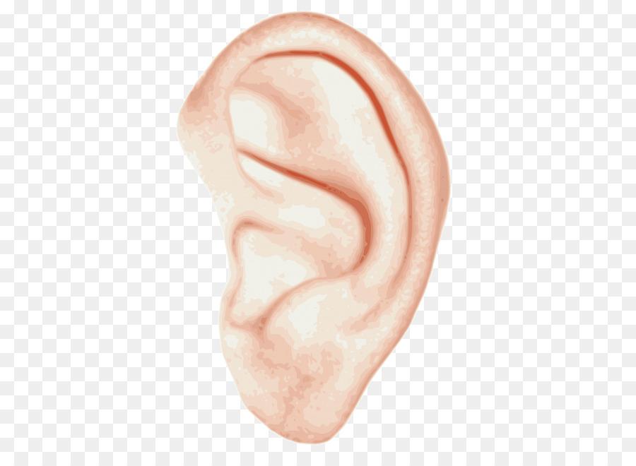 Ear Anatomy Inner ear Hearing Clip art - ear png download - 413*650 ...