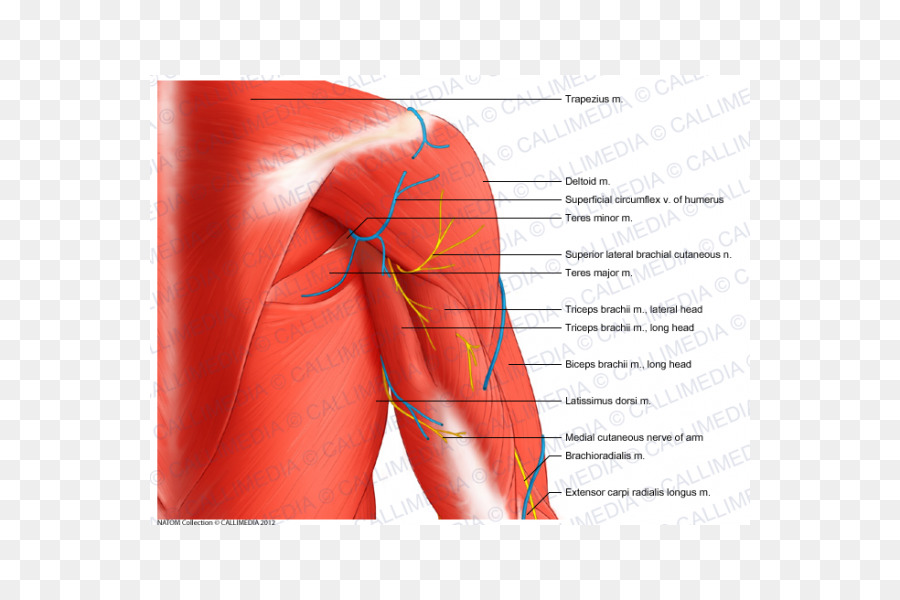 Shoulder Coronal plane Muscle Arm Anatomy - arm png download - 600 ...