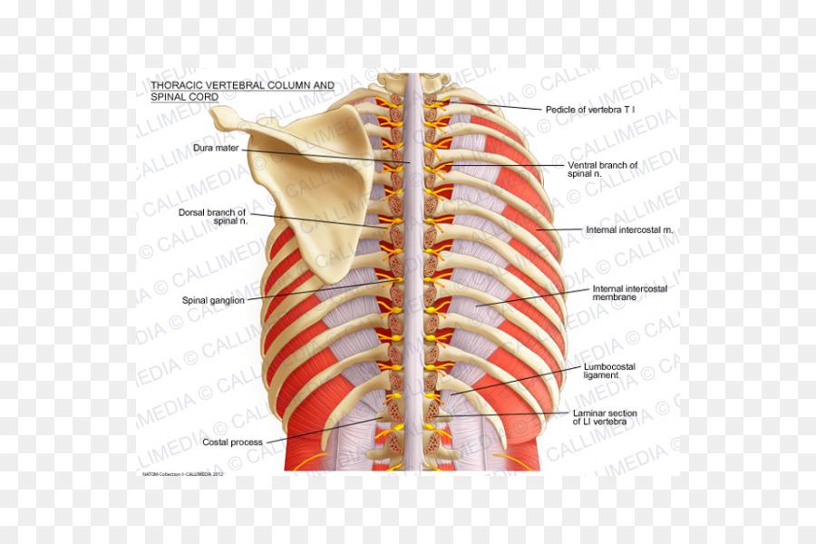 De la columna Vertebral, médula Espinal, las vértebras Torácicas ...