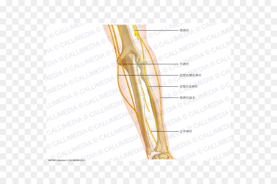 Thumb Elbow Nerve Anatomy Forearm - arm png download - 600*600 ...