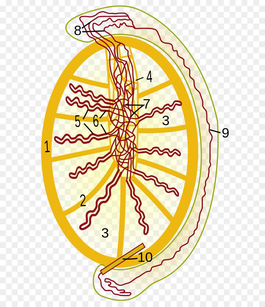 Rete Testis Testicle Efferent Ducts Mediastinum Testis Epididymis