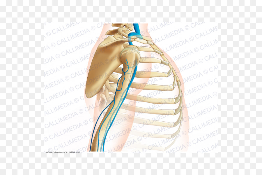 Shoulder Thumb Vein Arm Augšdelms - arm png download - 600*600 ...