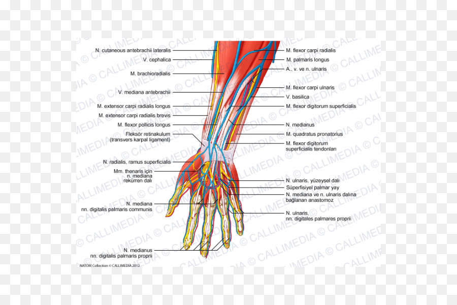 Forearm Radial nerve Human anatomy - hand png download - 600*600 ...