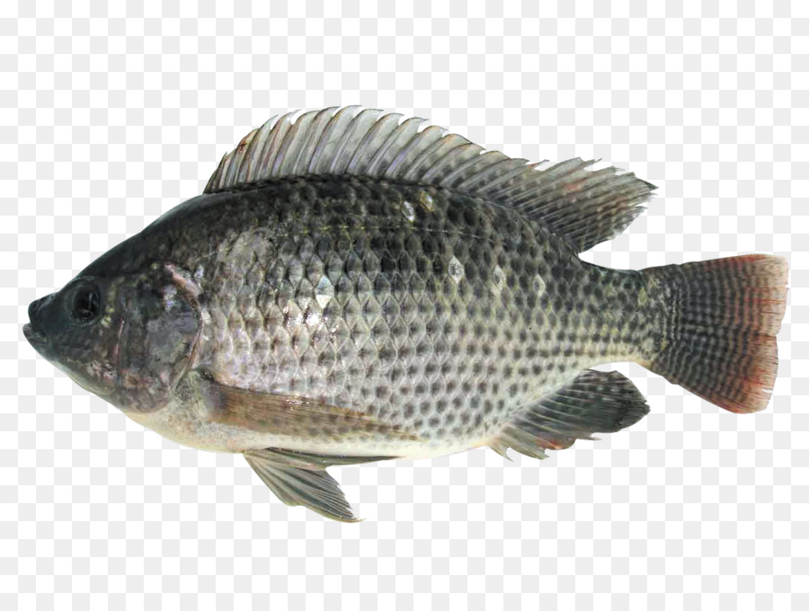 Mozambique Tilapia Fish Farming Food