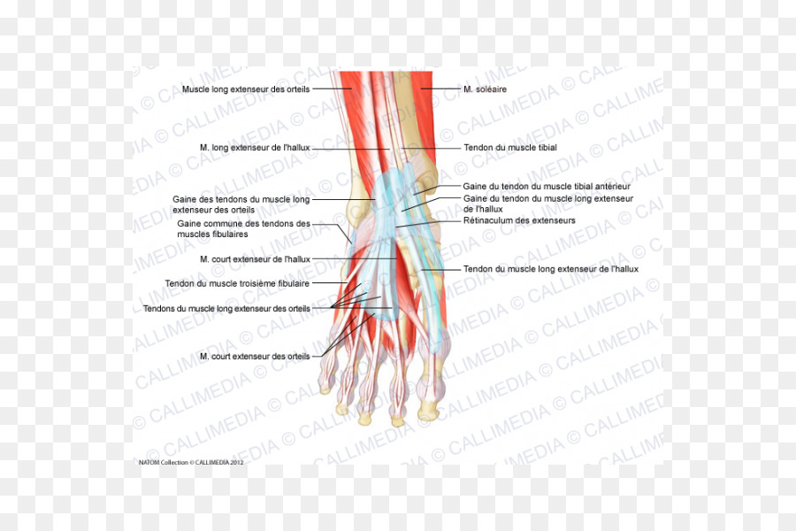 Finger Muscle Foot Tendon Anatomy - pelvis png download - 600*600 ...