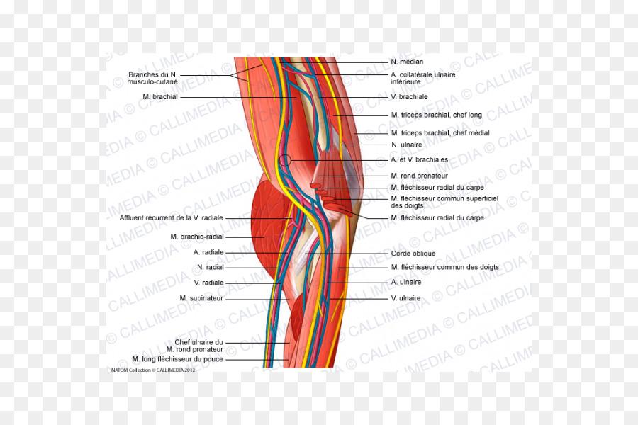 Shoulder Elbow Nerve Blood Vessel Anatomy Others Png Download