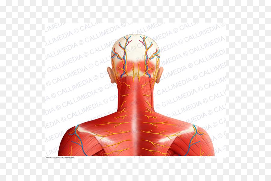 Músculo del hombro de los Nervios de los vasos Sanguíneos en el ...