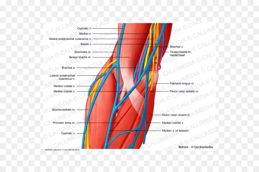 Elbow Ulnar nerve Triceps brachii muscle - arm png download - 600 ...
