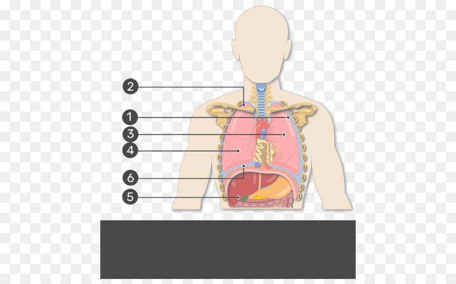 Human Right Lung Pleural Cavity Oblique Fissure Anatomy Show