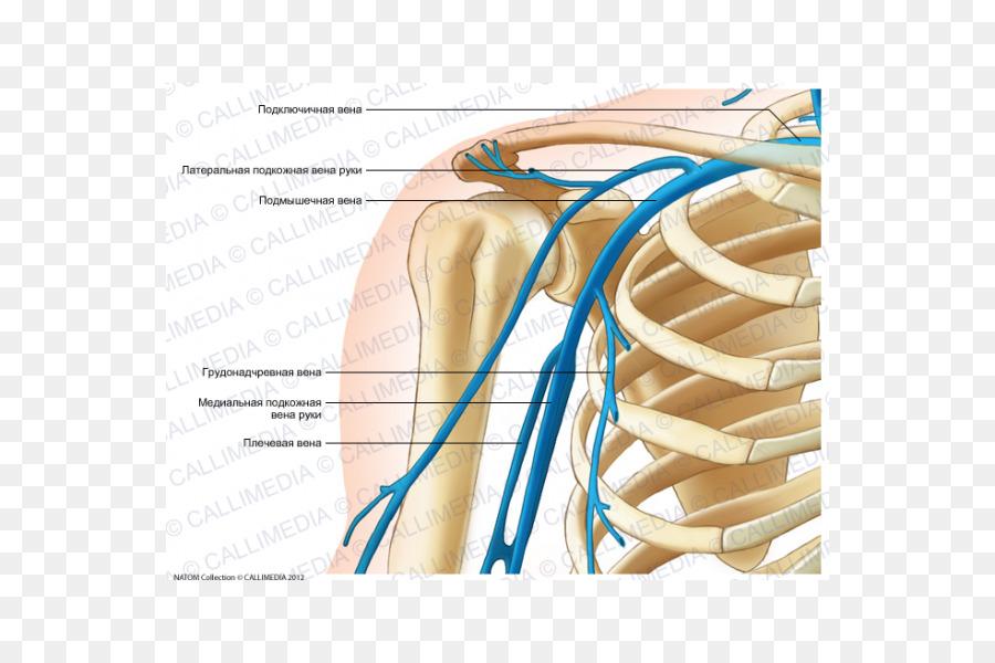 El pulgar de la Vena del Hombro anatomía Humana - brazo png dibujo ...