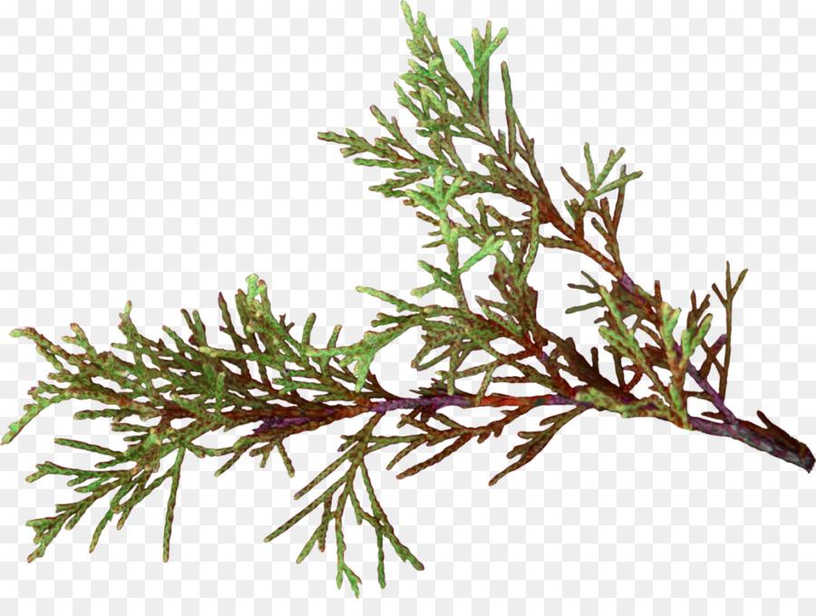 Twig False cypress Pine Plant stem Herb - hoja png download - 1183 ...
