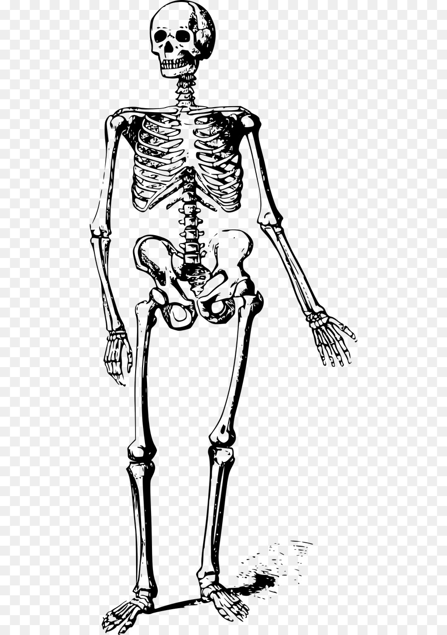 Esqueleto humano Huesos del Cráneo - Esqueleto png dibujo ...