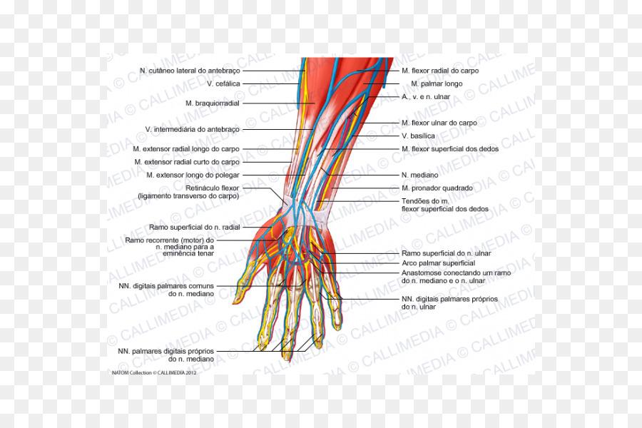 Radial nerve Forearm Human anatomy Blood vessel - hand Formatos De ...