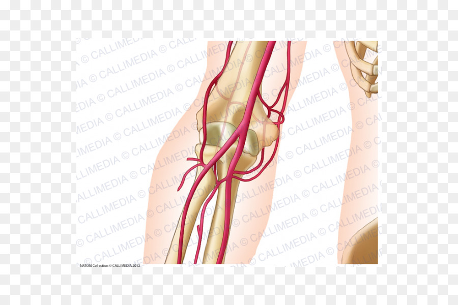 Elbow Ulnar artery Anatomy Radial artery - others png download - 600 ...