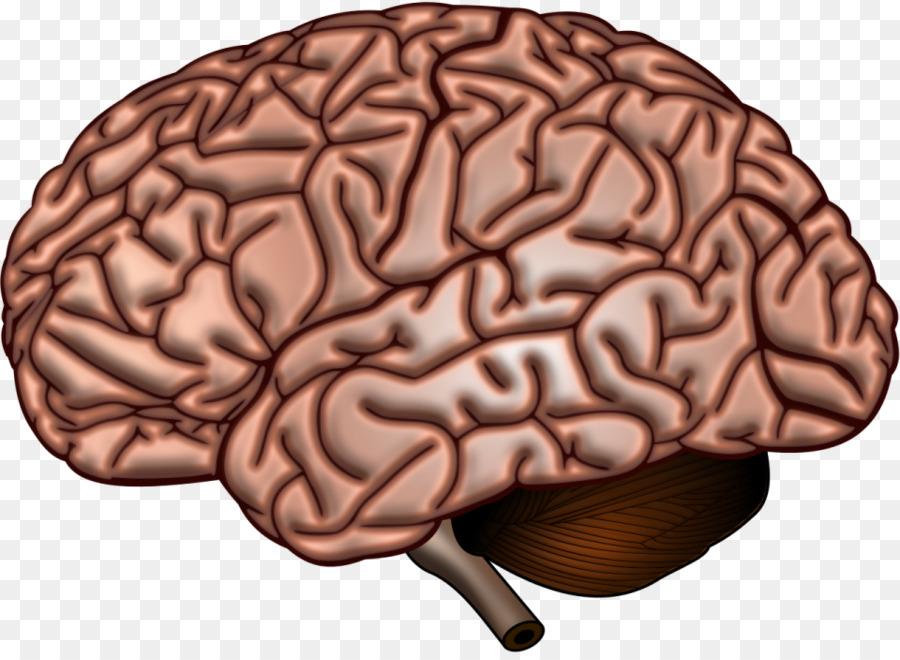 El cerebro humano Anatomía de Neurociencia de la corteza Cerebral ...