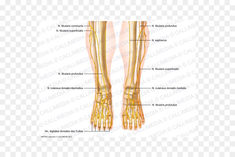 Common Peroneal Nerve Peroneus Longus Foot Superficial Peroneal