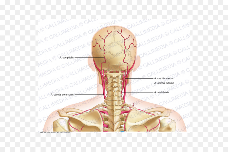 Artery Head and neck anatomy Pelvis - 360 Degrees png download - 600 ...