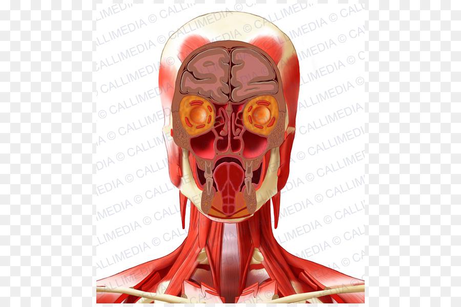 Human anatomy Human head Neck - pelvis png download - 600*600 - Free ...