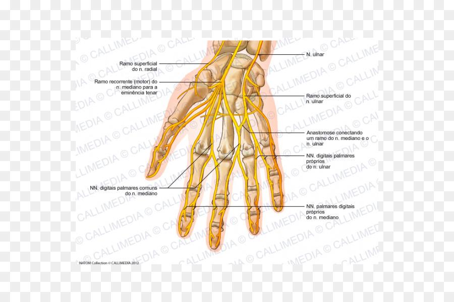 Ulnar Nerve Hand Human Anatomy Nervous System Hand Png Download