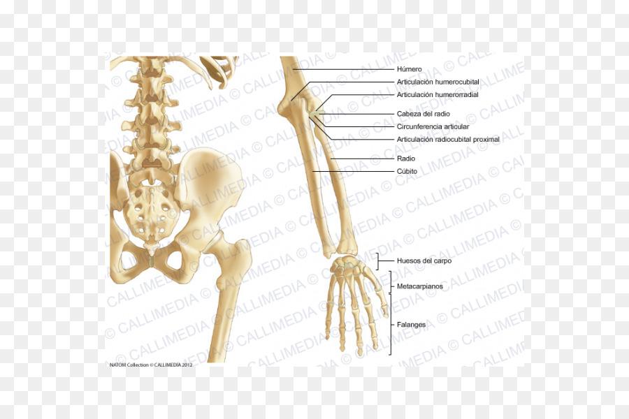 La Pelvis Ósea del Antebrazo de la Anatomía del esqueleto Humano ...