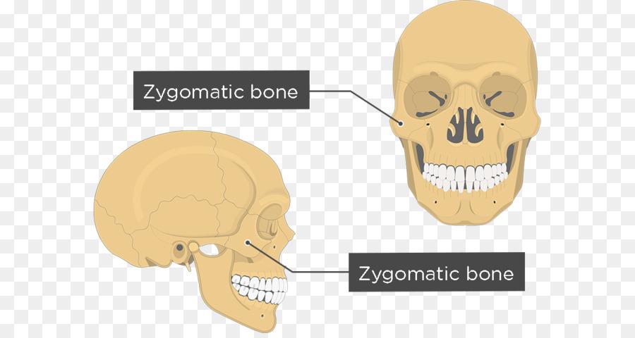 Zygomatic Bone Anatomy Maxilla Human Body Face Anatomy Png
