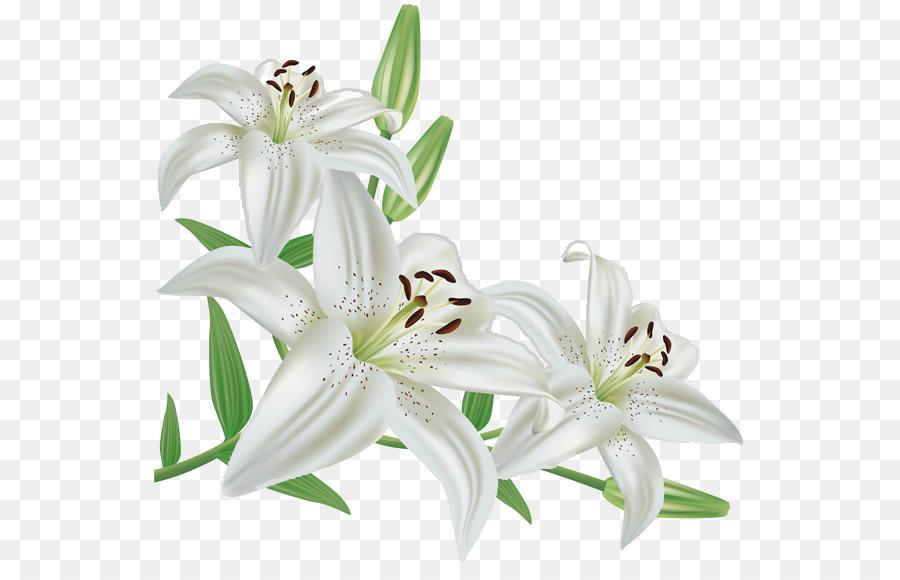 Madonna Lily Flower Lily Stargazer Flower Png Download 591565