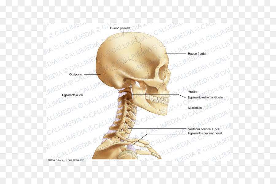 Bone Head and neck anatomy Head and neck anatomy Head and neck ...