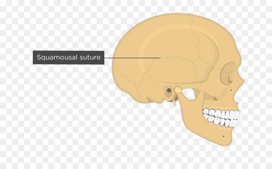 Temporal line Parietal bone Temporal bone Temporal lobe Skull ...