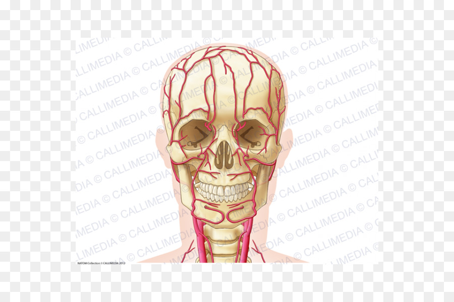 Ear Artery Head Neck Anatomy - ear png download - 600*600 - Free ...