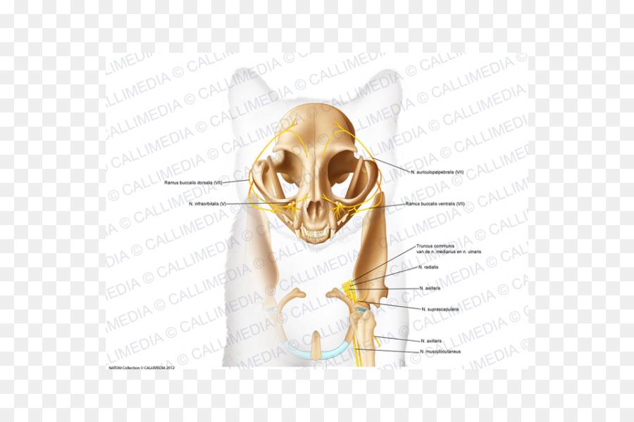 Skull Bone Anatomy Ear Head Skull Png Download 600600 Free