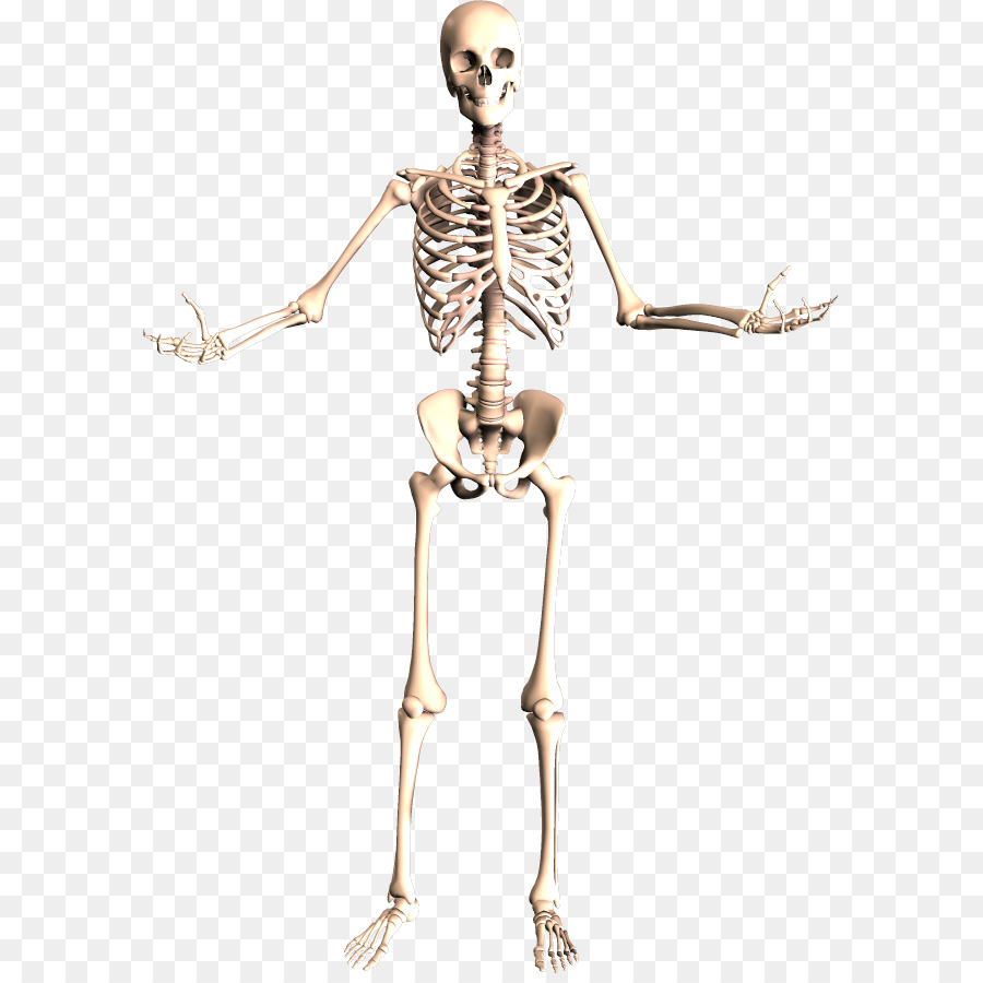 The Skeletal System Human Skeleton Human Body Anatomy Skeleton Png