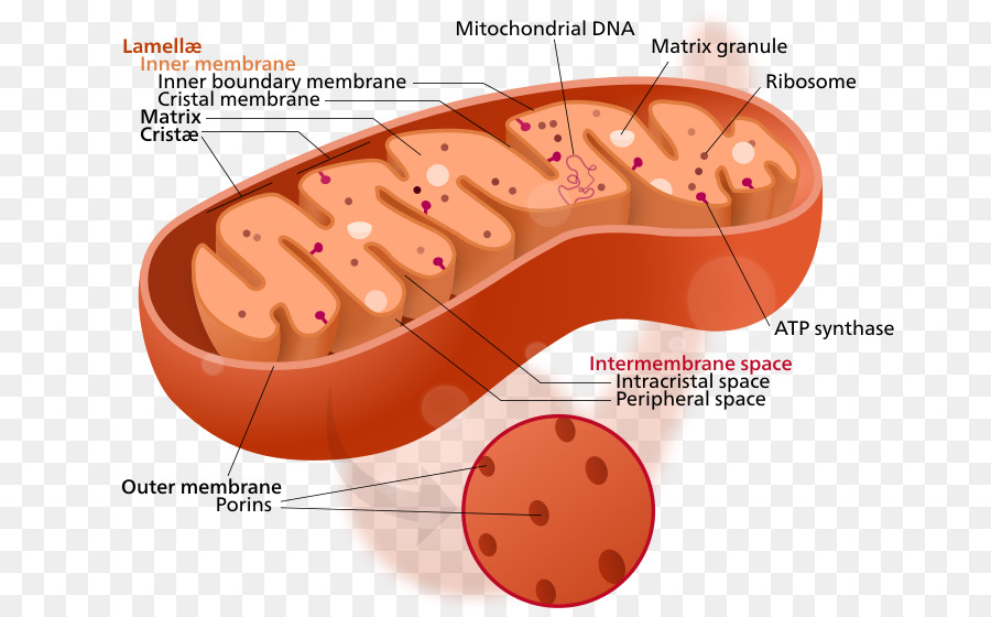 an analysis of the mitochondria and chloroplast in an organic cell When comparing and contrasting the mitochondria and chloroplast, a person learns all of the the mitochondria often referred to as the powerhouse cell is found in the eukaruotic cells these processes decompose glucose and other organic fuels glycolysis, which occurs in the cytosol.