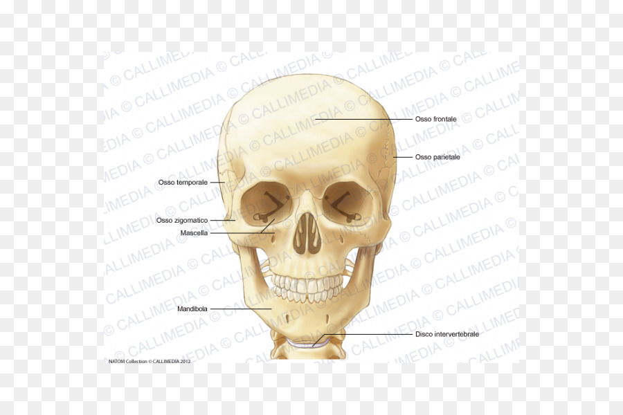 Anatomy Human Skeleton Neck Infraorbital Foramen Bone Head And