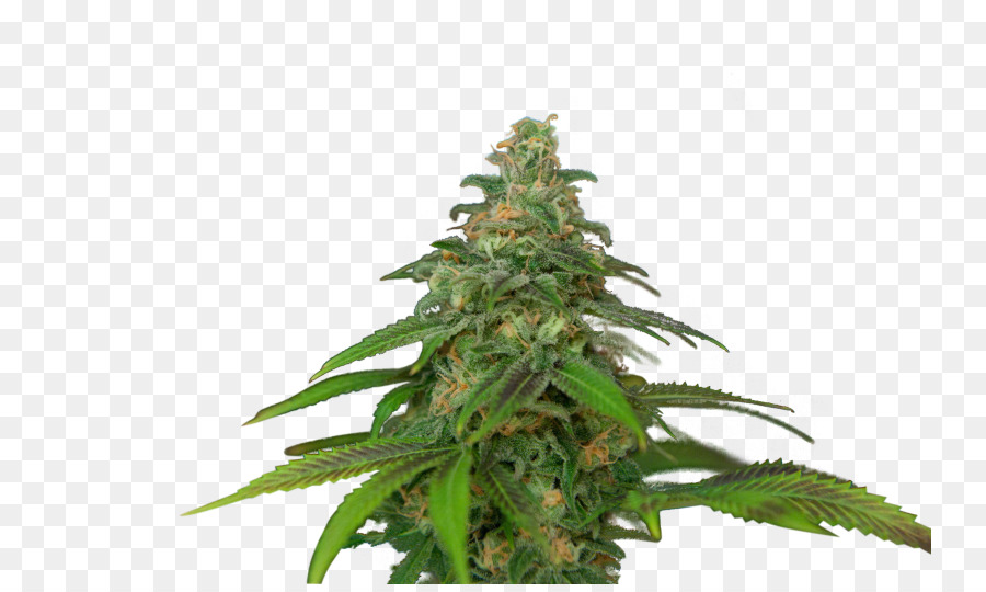 an introduction to the marijuana or cannabis sativia Cannabis indica vs cannabis sativa comparison pure sativa cannabis is a rarity in the medical marijuana field firstly because it is difficult to cultivate indoors and in the northern hemisphere, and secondly because pure sativa highs can often induce paranoia attacks and irregular heart beats on.