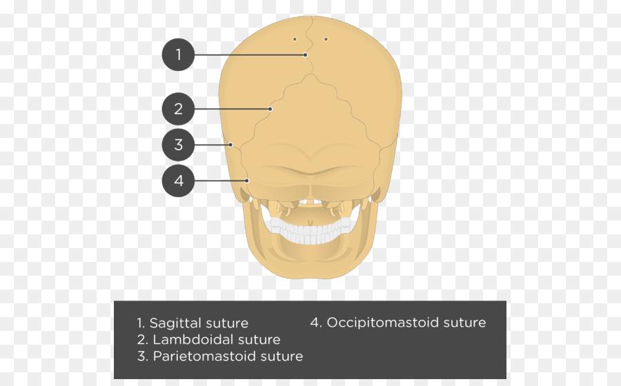 Parietal bone Skull Anatomy Lebeční šev - skull png download - 569 ...