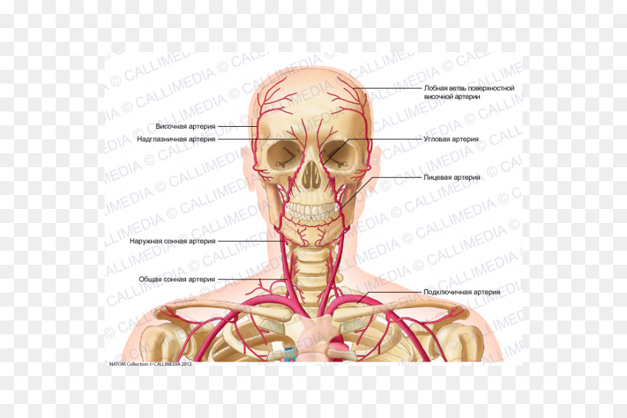 Supratrochlear artery Head and neck anatomy Vein Human body - Human ...