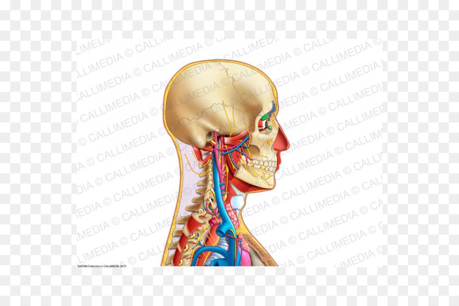 Neck Ear Human anatomy Bone - ear png download - 600*600 - Free ...