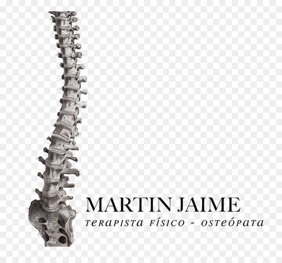 La columna Vertebral Humana anatomía del esqueleto Humano Plakat ...