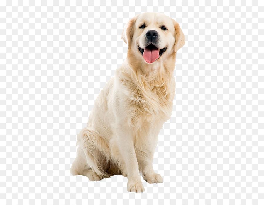 Golden Retriever Welpen Hunderasse Labrador Retriever Beagle