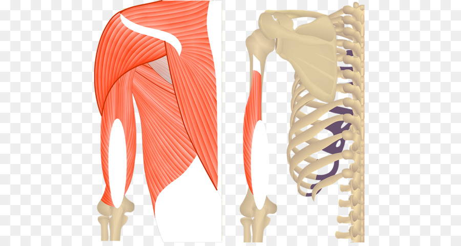 Triceps brachii muscle Origin and Insertion Biceps Anatomy - arm png ...